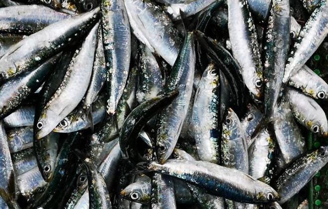 A época da pesca da sardinha começou esta segunda-feira