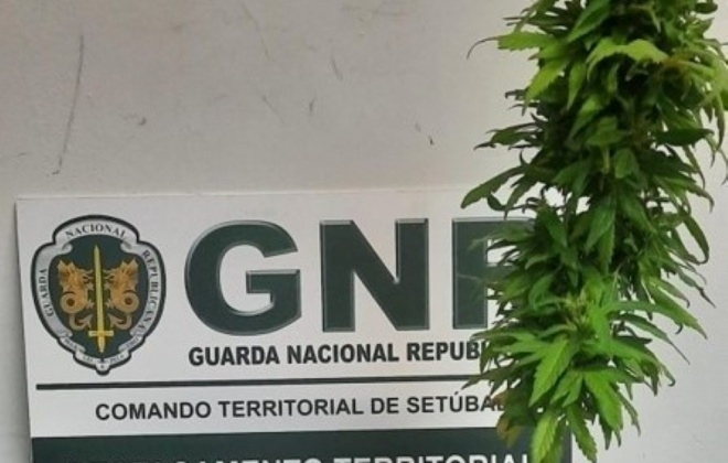 Homem detido em Grândola por cultivo de cannabis