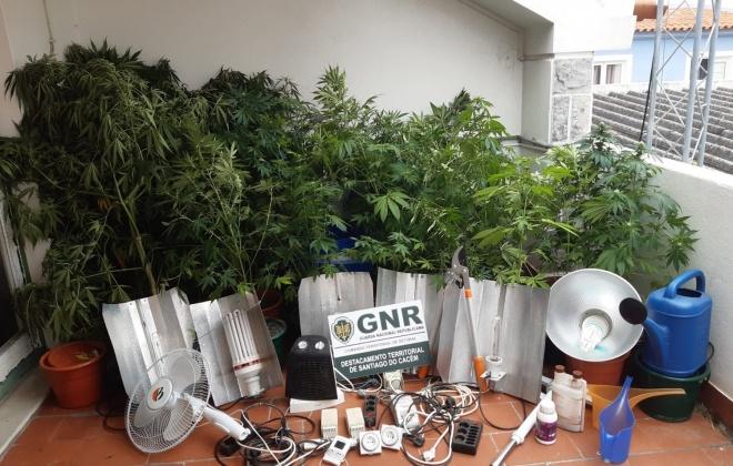 GNR desmantela estufa de plantação de cannabis e prende dois homens em Sines