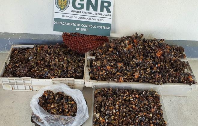 Unidade de Controlo Costeiro apreende 86 quilos de perceves em Aljezur
