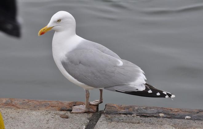 Município de Sines combate presença de gaivotas em zonas urbanas